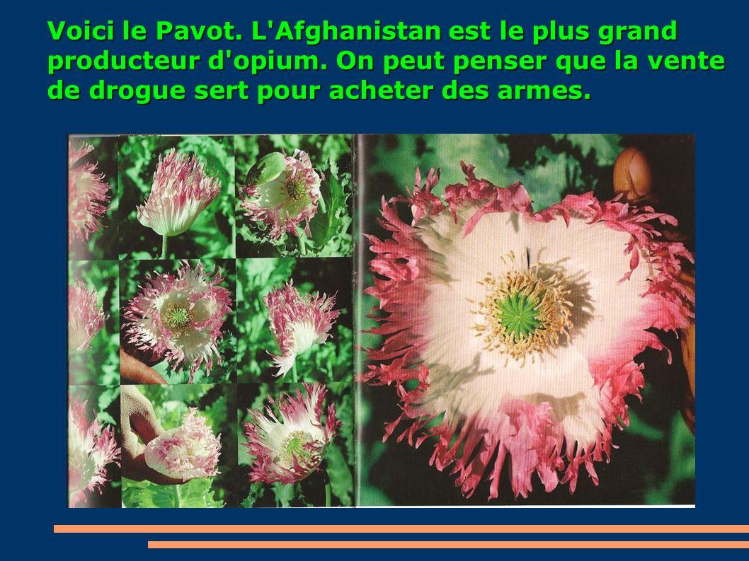 Voici le Pavot. L'Afghanistan est le plus grand producteur d'opium. On peut penser que la vente de drogue sert pour acheter des armes.