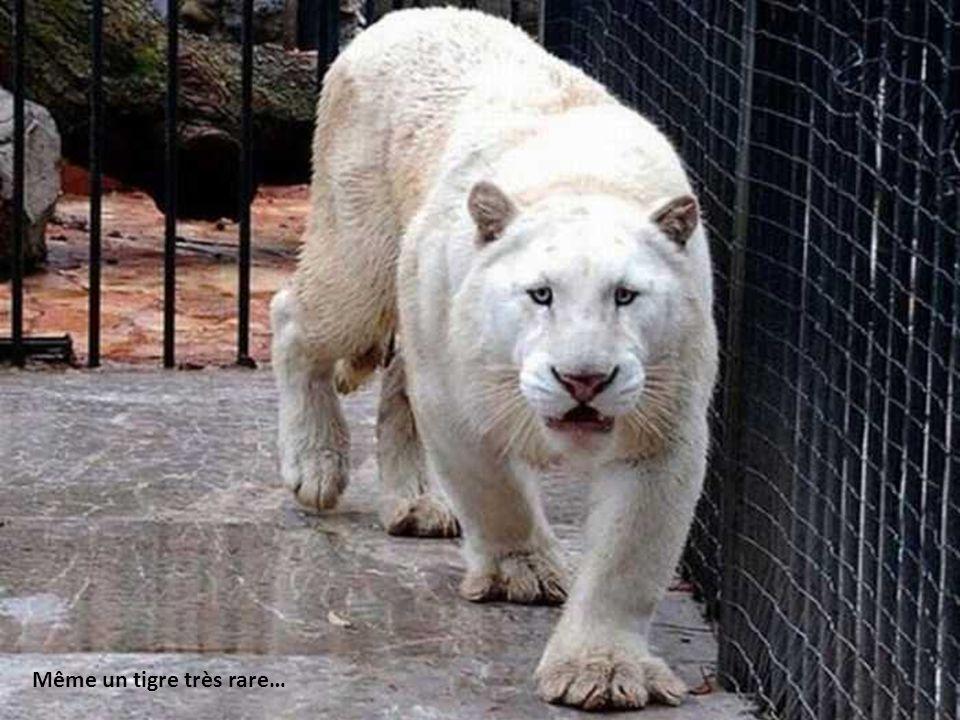 7 lions furent trouvés sur la propriété