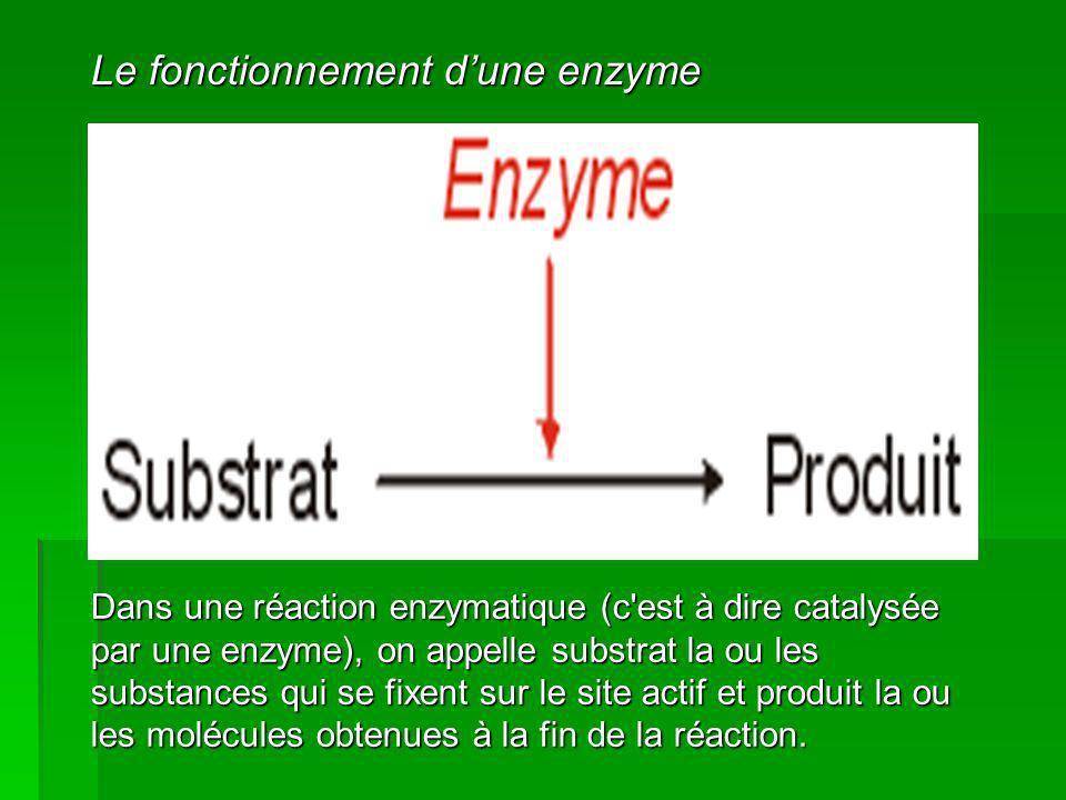 Exemple du sucrose Le cycle catalytique de cette enzyme (saccharase) décompose le saccharose en deux sucre simples, le glucose et le fructose.