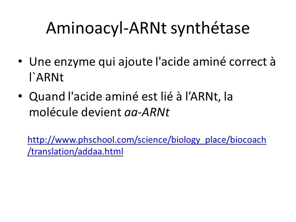 Aminoacyl-ARNt synthétase Une enzyme qui ajoute l'acide aminé correct à l`ARNt Quand l'acide aminé est lié à lARNt, la molécule devient aa-ARNt http:/
