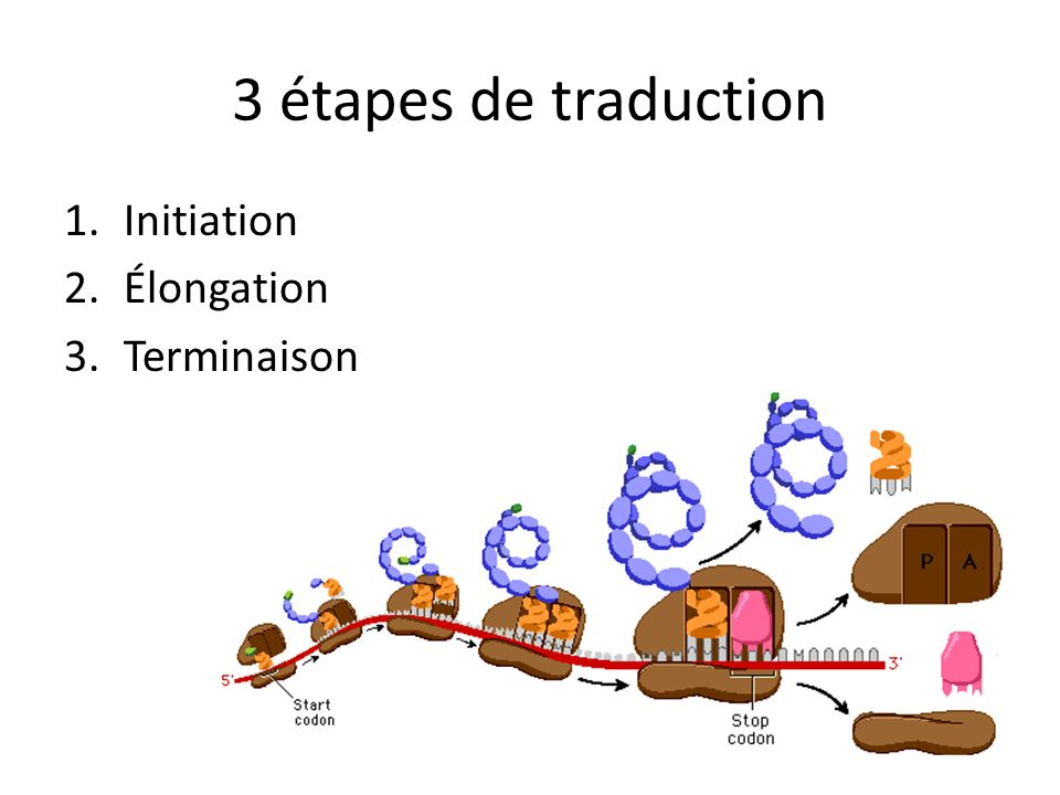 3 étapes de traduction 1.Initiation 2.Élongation 3.Terminaison