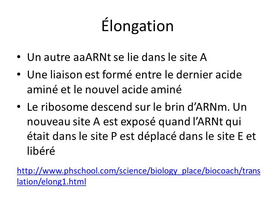 Élongation Un autre aaARNt se lie dans le site A Une liaison est formé entre le dernier acide aminé et le nouvel acide aminé Le ribosome descend sur l