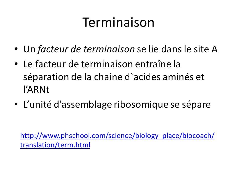 Terminaison Un facteur de terminaison se lie dans le site A Le facteur de terminaison entraîne la séparation de la chaine d`acides aminés et lARNt Lun