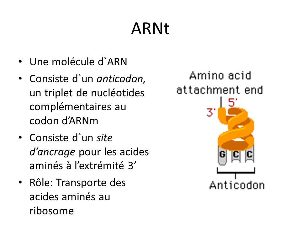 ARNt Une molécule d`ARN Consiste d`un anticodon, un triplet de nucléotides complémentaires au codon dARNm Consiste d`un site dancrage pour les acides