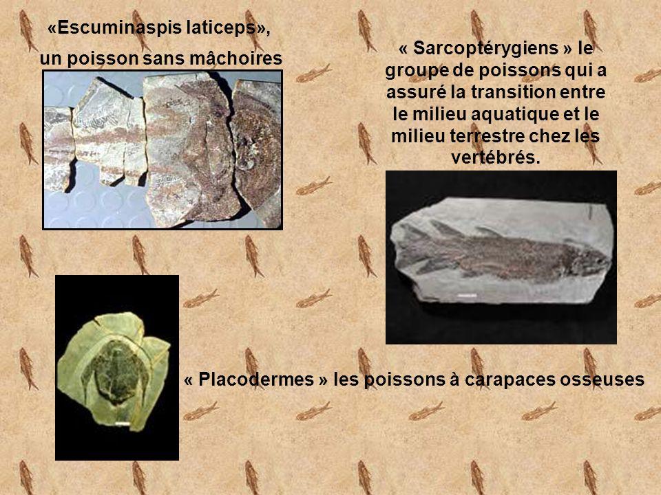 «Escuminaspis laticeps», un poisson sans mâchoires « Sarcoptérygiens » le groupe de poissons qui a assuré la transition entre le milieu aquatique et le milieu terrestre chez les vertébrés.