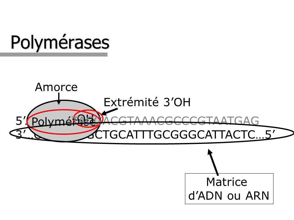 Polymérases 5…GTACT 3…CATGAATGCTGCATTTGCGGGCATTACTC…5 Polymérase Amorce -OH Extrémité 3OH TACGACGTAAACGCCCGTAATGAG Matrice dADN ou ARN