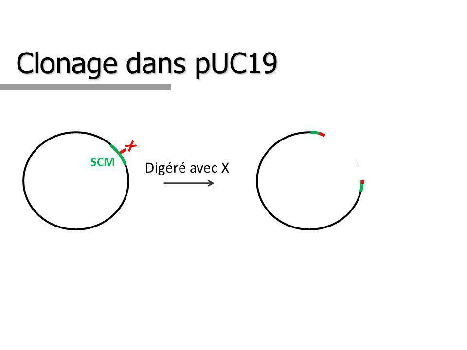 Clonage dans pUC19 X X + Insertion