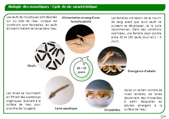 Alimentation en sang dune femelle adulte Biologie des moustiques - Cycle de vie caractéristique Les œufs de moustiques sont déposés sur ou près de l'e