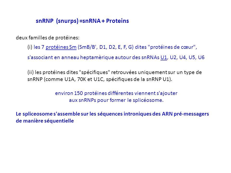deux familles de protéines: (i) les 7 protéines Sm (SmB/B', D1, D2, E, F, G) dites