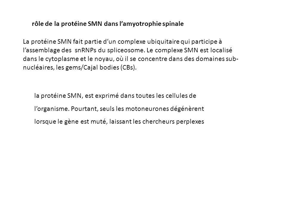 rôle de la protéine SMN dans lamyotrophie spinale La protéine SMN fait partie dun complexe ubiquitaire qui participe à lassemblage des snRNPs du splic