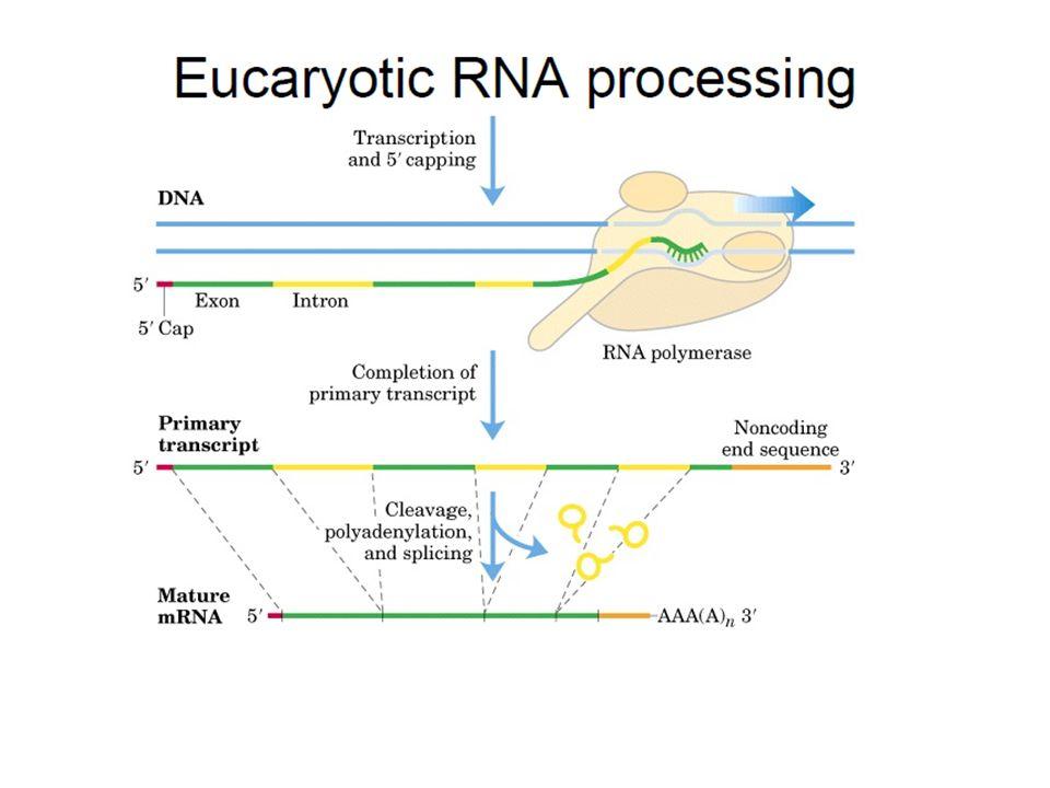 - U1 sert à la reconnaissance de la séquence consensus, GUAAGU, à la jonction de l exon amont et de l intron.exonintron - U2 reconnaît la boite de branchement, à l intérieur de l intron.