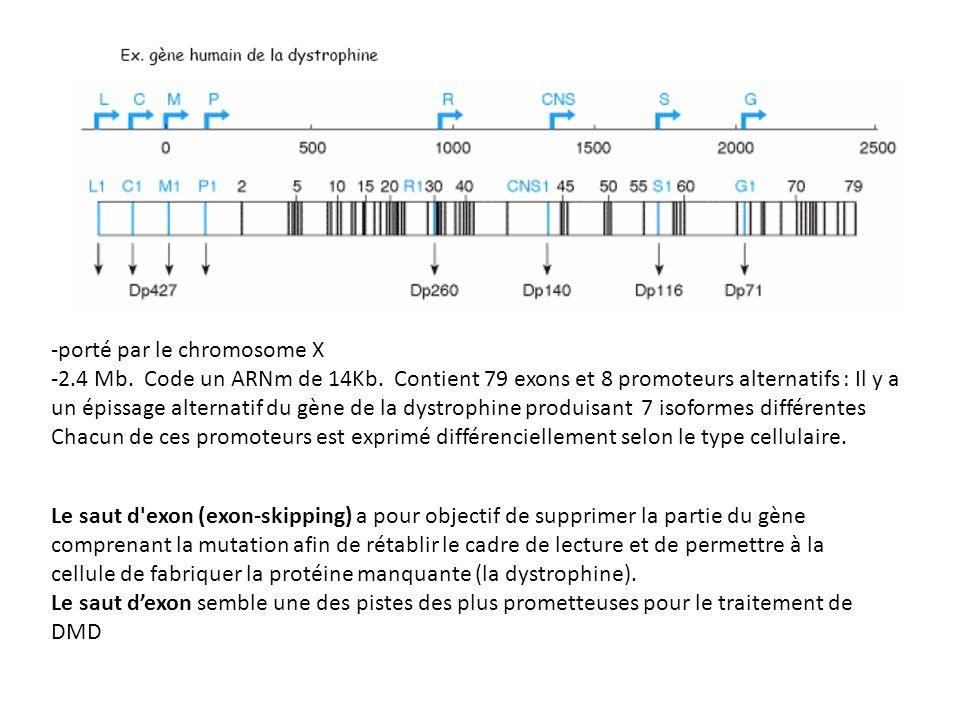 -porté par le chromosome X -2.4 Mb. Code un ARNm de 14Kb. Contient 79 exons et 8 promoteurs alternatifs : Il y a un épissage alternatif du gène de la