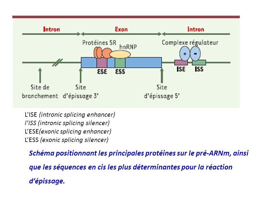 Schéma positionnant les principales protéines sur le pré-ARNm, ainsi que les séquences en cis les plus déterminantes pour la réaction dépissage. LISE