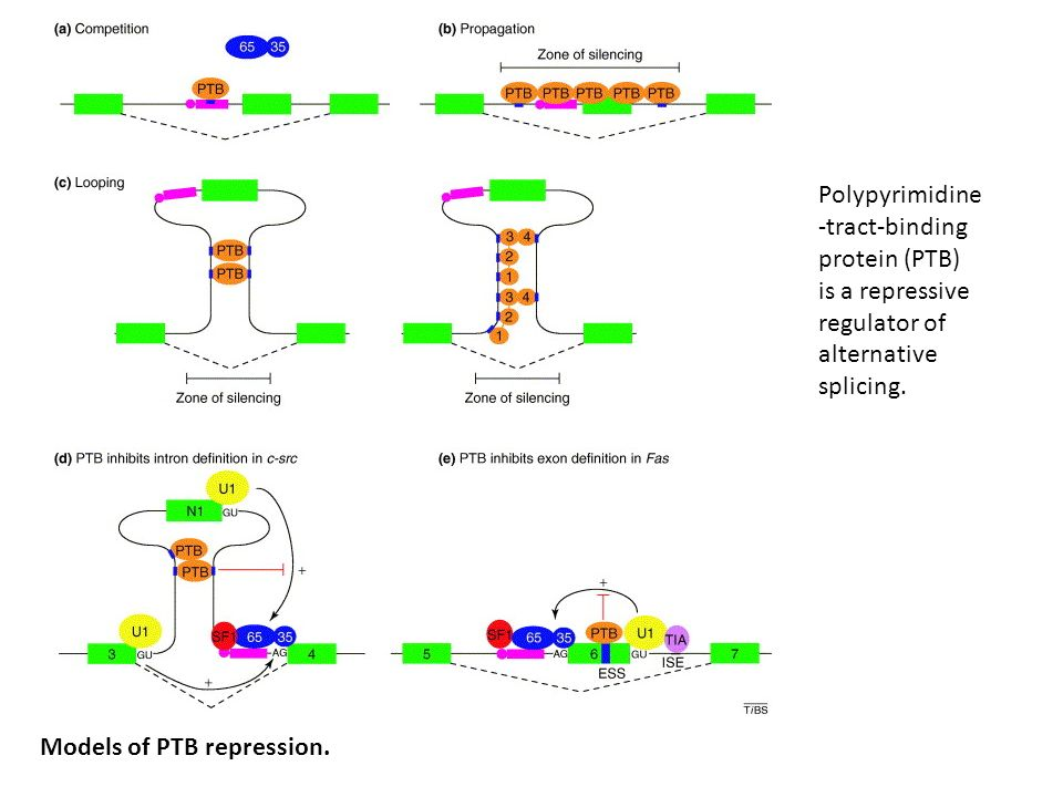 Polypyrimidine -tract-binding protein (PTB) is a repressive regulator of alternative splicing.