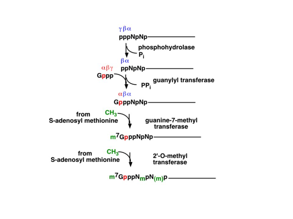 5 methylated cap