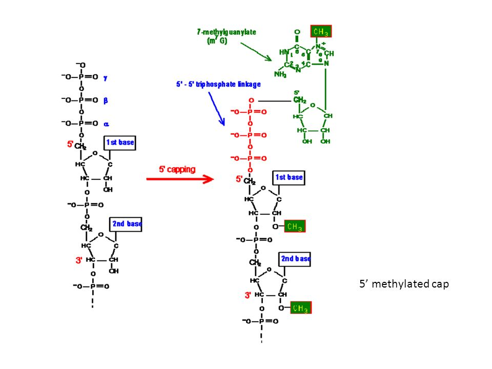 step 1 involves a nucleophilic attack by the 2 -OH group of the branch point A on the phosphodiester bond of the 5 exon/intron boundary, The lariat structure is shown in the middle step 2 is a nucleophilic attack of the 3 end of the 5 exon on the phosphodiester bond of the 3 intron/exon boundary, sealing the two exons together.