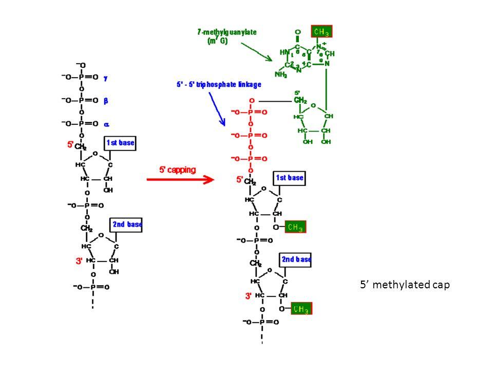 Schéma positionnant les principales protéines sur le pré-ARNm, ainsi que les séquences en cis les plus déterminantes pour la réaction dépissage.