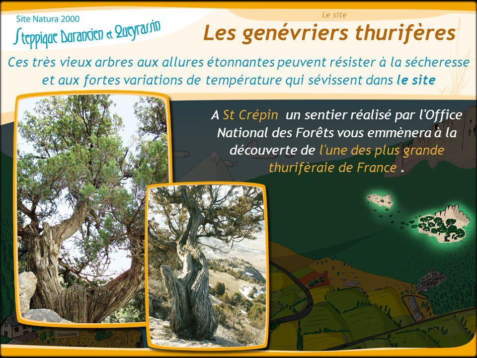 Les genévriers thurifères Le site Ces très vieux arbres aux allures étonnantes peuvent résister à la sécheresse et aux fortes variations de températur