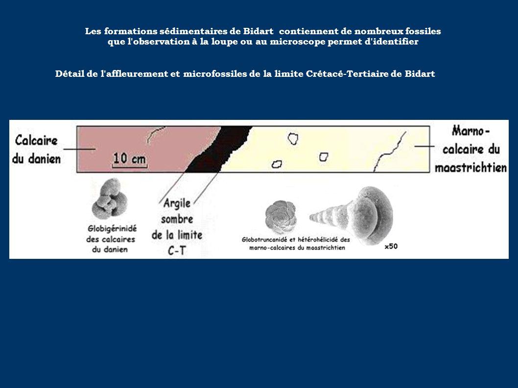 Les formations sédimentaires de Bidart contiennent de nombreux fossiles que l'observation à la loupe ou au microscope permet d'identifier Détail de l'
