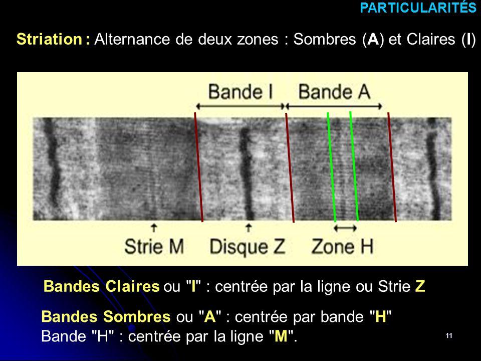 11 Striation : Alternance de deux zones : Sombres (A) et Claires (I) PARTICULARITÉS Bandes Sombres ou