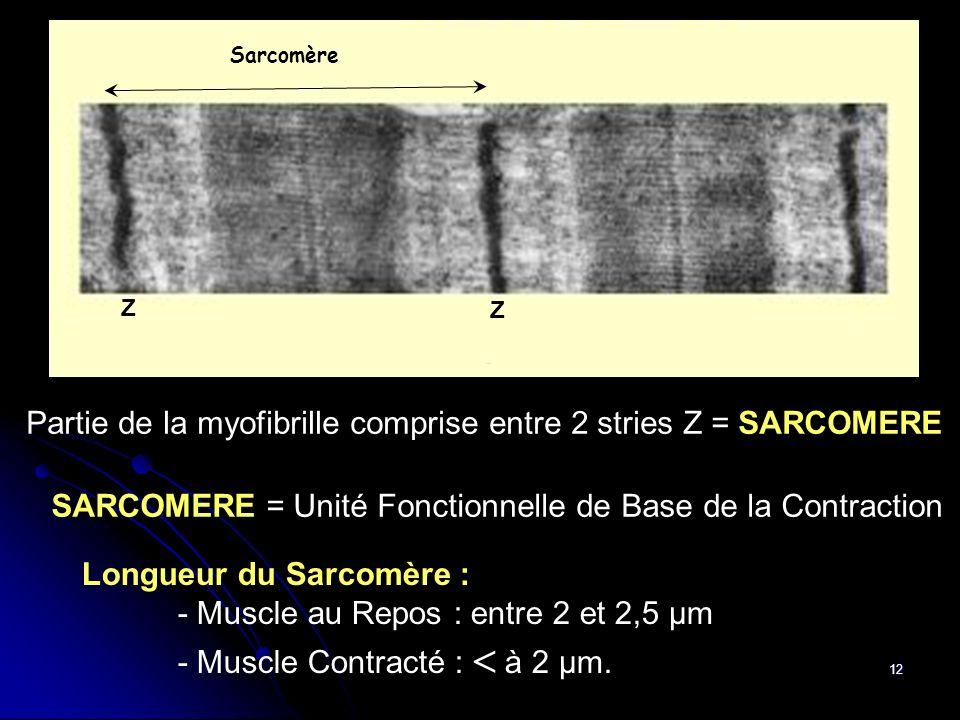 12 Longueur du Sarcomère : - Muscle au Repos : entre 2 et 2,5 µm - Muscle Contracté : à 2 µm. Partie de la myofibrille comprise entre 2 stries Z = SAR