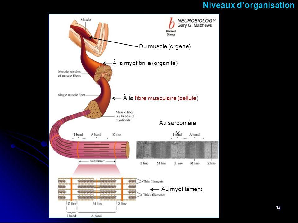 13 Niveaux dorganisation Du muscle (organe) Au myofilament Au sarcomère À la fibre musculaire (cellule) À la myofibrille (organite)