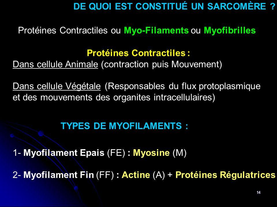 14 DE QUOI EST CONSTITUÉ UN SARCOMÈRE ? Protéines Contractiles ou Myo-Filaments ou Myofibrilles 1- Myofilament Epais (FE) : Myosine (M) 2- Myofilament
