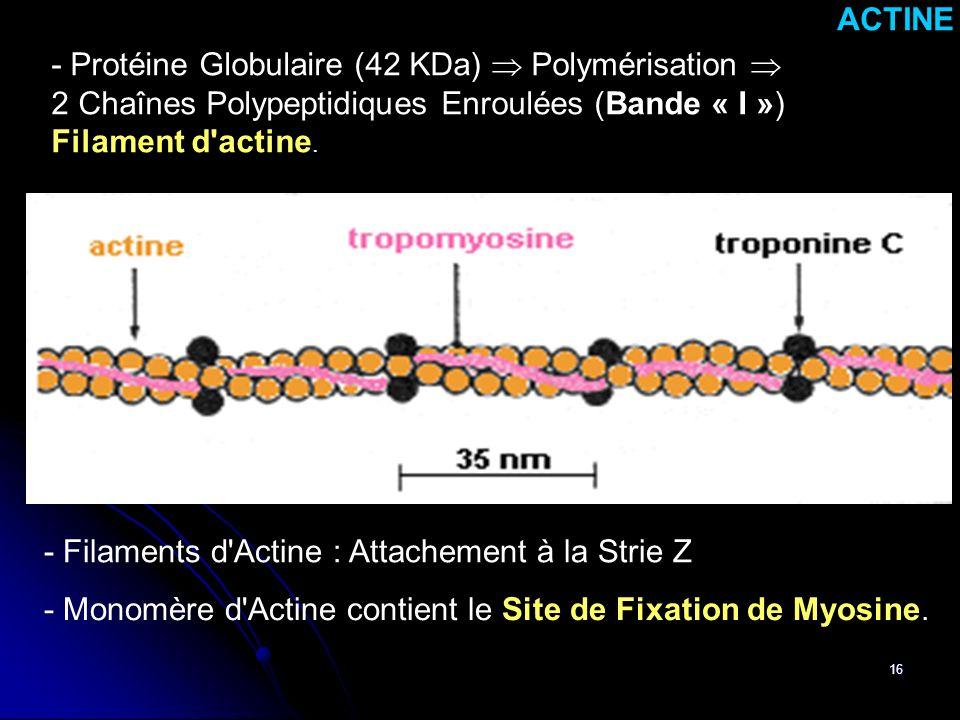16 - Monomère d'Actine contient le Site de Fixation de Myosine. ACTINE - Protéine Globulaire (42 KDa) Polymérisation 2 Chaînes Polypeptidiques Enroulé