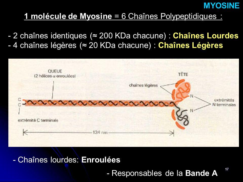 17 - Chaînes lourdes: Enroulées MYOSINE - Responsables de la Bande A 1 molécule de Myosine = 6 Chaînes Polypeptidiques : - 2 chaînes identiques ( 200