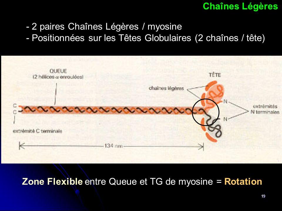 19 Chaînes Légères - 2 paires Chaînes Légères / myosine - Positionnées sur les Têtes Globulaires (2 chaînes / tête) Zone Flexible entre Queue et TG de
