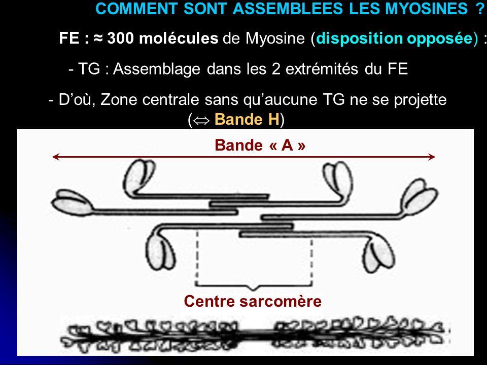 20 - Doù, Zone centrale sans quaucune TG ne se projette ( Bande H) COMMENT SONT ASSEMBLEES LES MYOSINES ? FE : 300 molécules de Myosine (disposition o