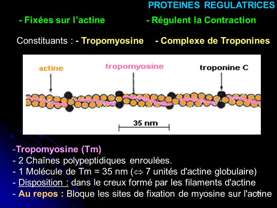 21 -Tropomyosine (Tm) - 2 Chaînes polypeptidiques enroulées. - 1 Molécule de Tm = 35 nm ( 7 unités d'actine globulaire) - Disposition : dans le creux