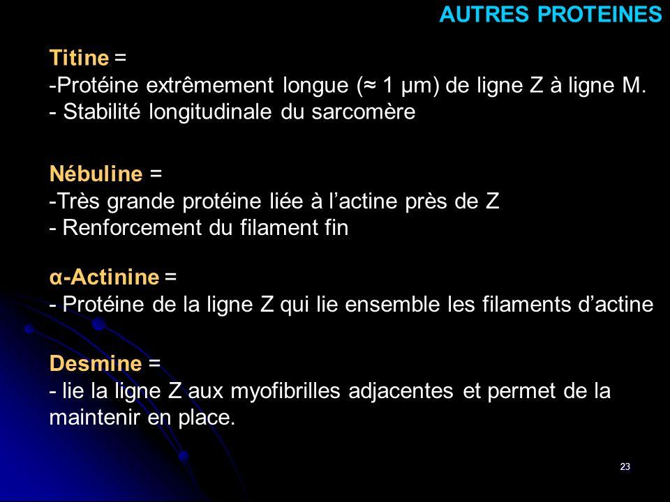 23 Desmine = - lie la ligne Z aux myofibrilles adjacentes et permet de la maintenir en place. AUTRES PROTEINES Titine = -Protéine extrêmement longue (