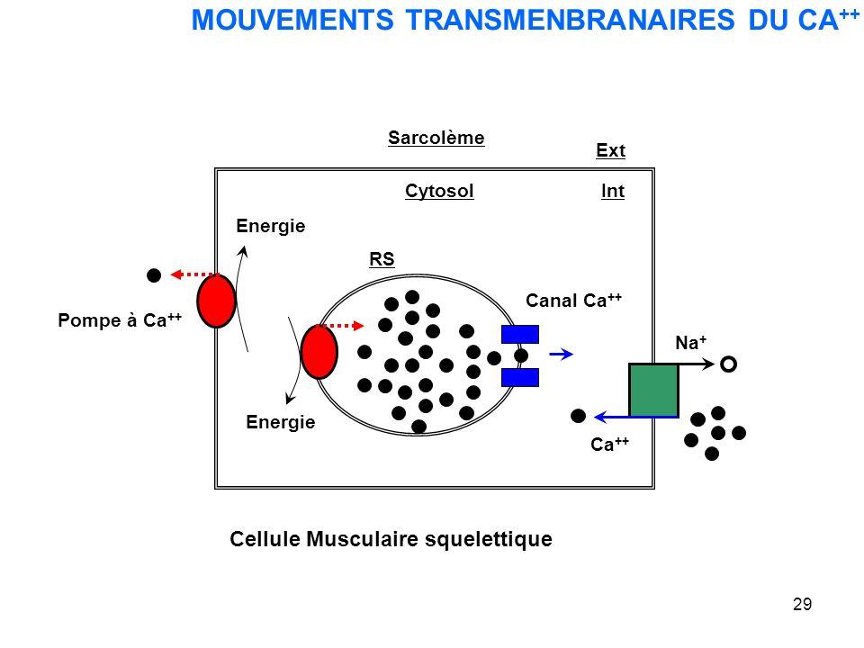 29 MOUVEMENTS TRANSMENBRANAIRES DU CA ++ Cellule Musculaire squelettique Na + Ext Ca ++ RS Cytosol Canal Ca ++ Energie Int Pompe à Ca ++ Sarcolème