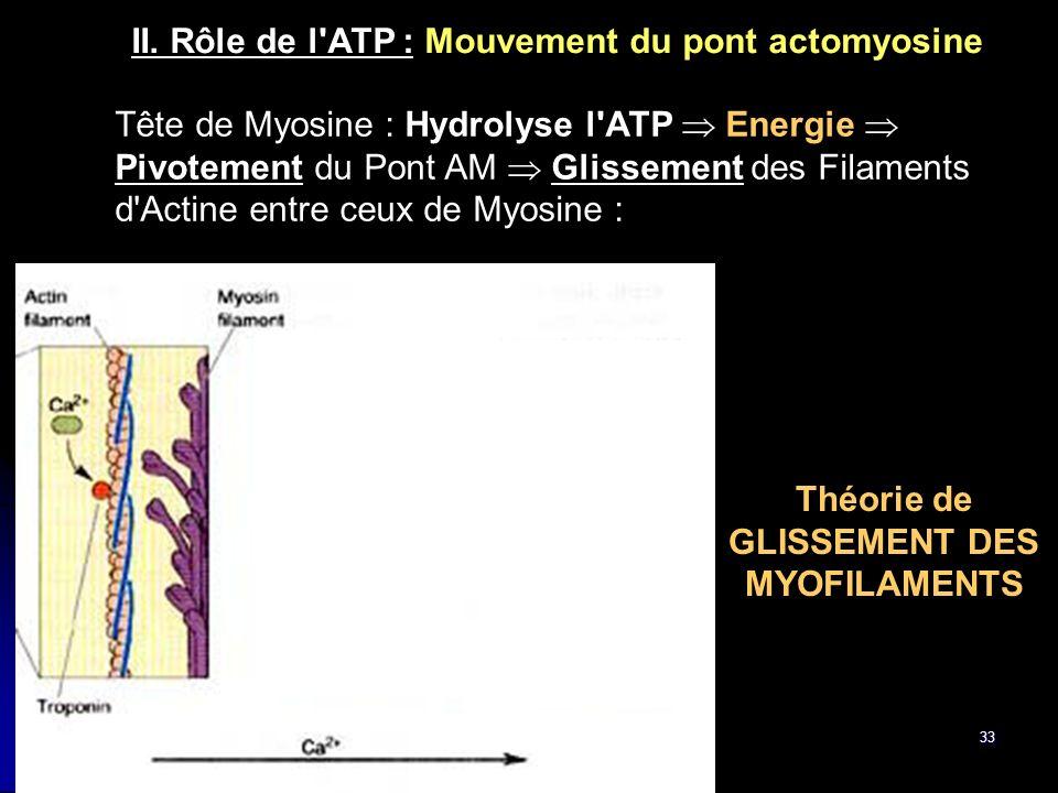 33 Tête de Myosine : Hydrolyse l'ATP Energie Pivotement du Pont AM Glissement des Filaments d'Actine entre ceux de Myosine : II. Rôle de l'ATP : Mouve