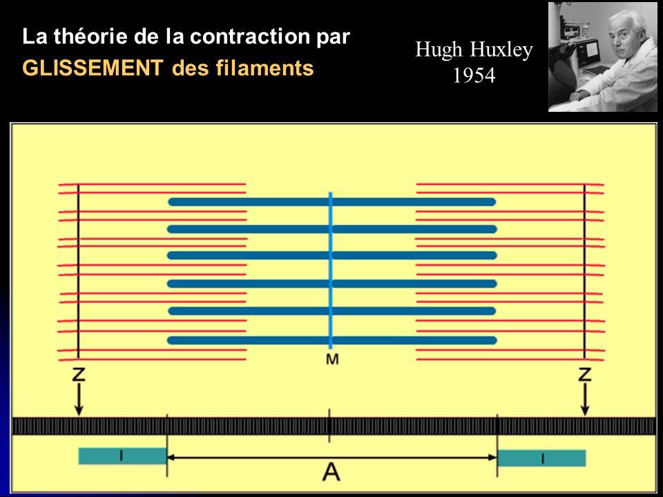 34 Hugh Huxley 1954 La théorie de la contraction par GLISSEMENT des filaments
