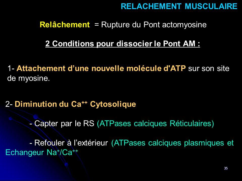 35 RELACHEMENT MUSCULAIRE Relâchement = Rupture du Pont actomyosine 2 Conditions pour dissocier le Pont AM : 2- Diminution du Ca ++ Cytosolique - Capt