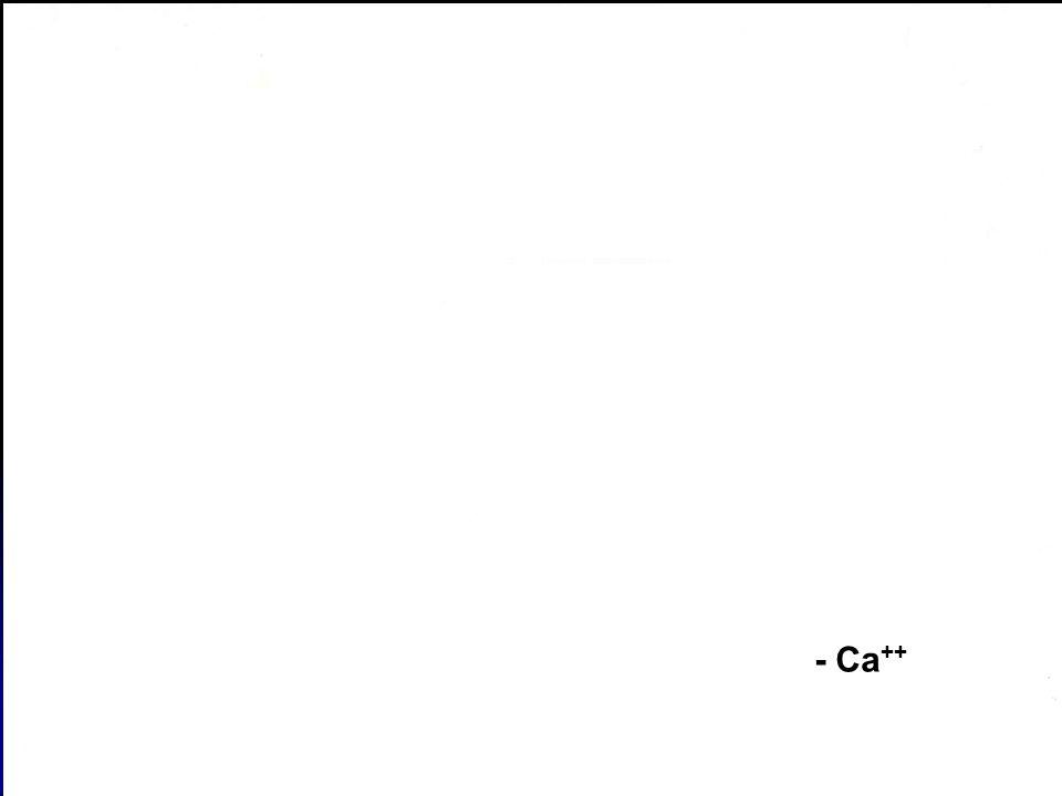 38 + Ca ++ - Ca ++