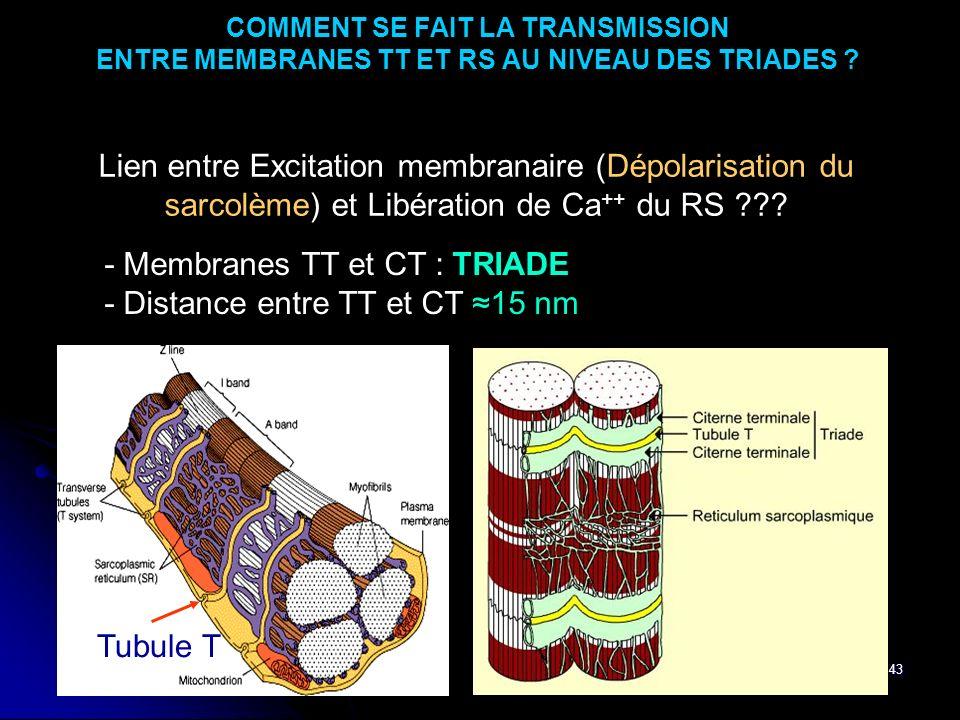43 COMMENT SE FAIT LA TRANSMISSION ENTRE MEMBRANES TT ET RS AU NIVEAU DES TRIADES ? Lien entre Excitation membranaire (Dépolarisation du sarcolème) et