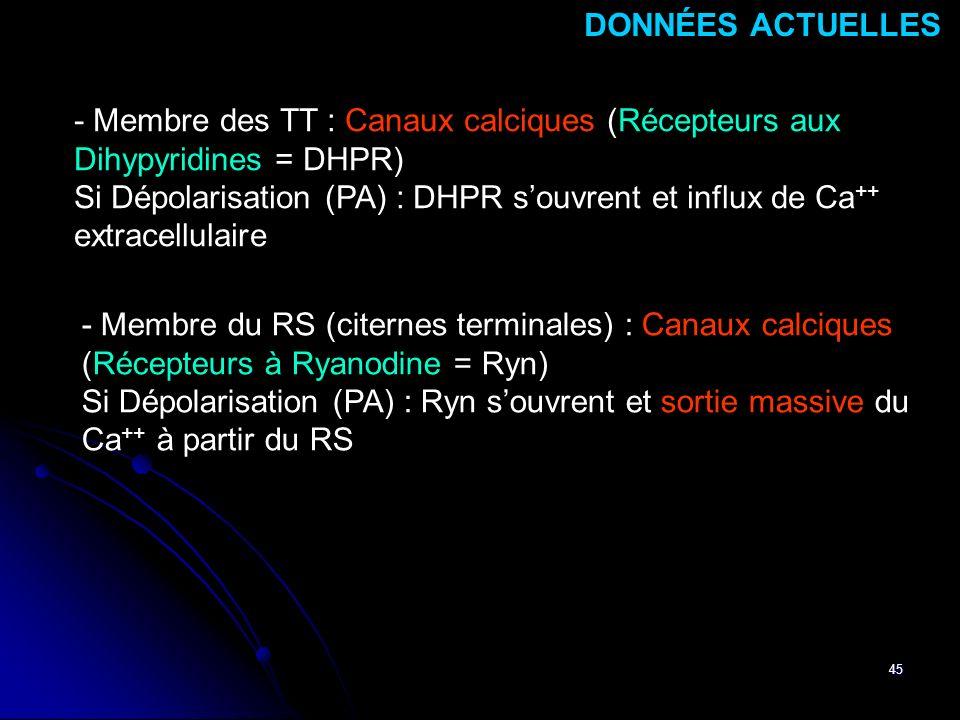 45 - Membre des TT : Canaux calciques (Récepteurs aux Dihypyridines = DHPR) Si Dépolarisation (PA) : DHPR souvrent et influx de Ca ++ extracellulaire