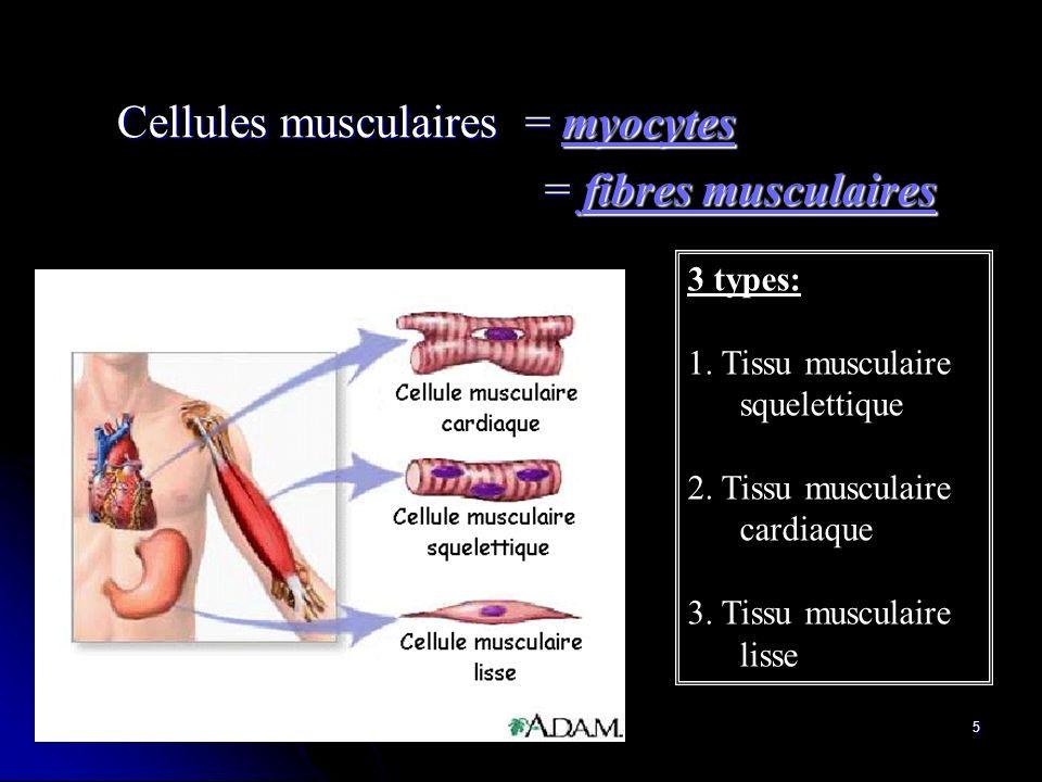 5 3 types: 1. Tissu musculaire squelettique 2. Tissu musculaire cardiaque 3. Tissu musculaire lisse Cellules musculaires = myocytes Cellules musculair