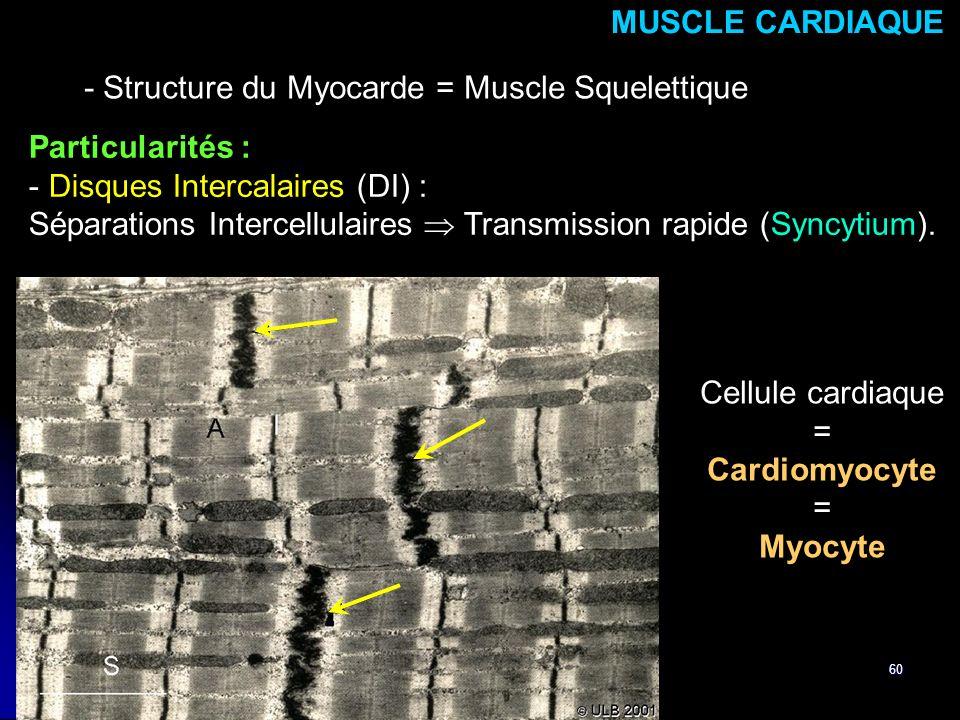 60 Particularités : - Disques Intercalaires (DI) : Séparations Intercellulaires Transmission rapide (Syncytium). MUSCLE CARDIAQUE - Structure du Myoca