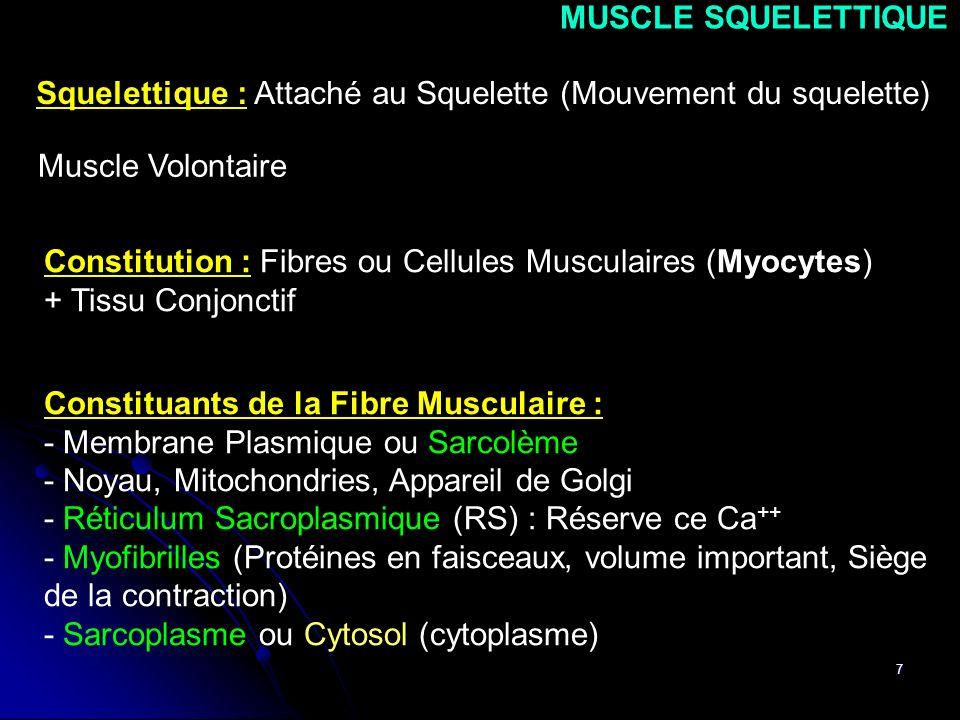 7 Squelettique : Attaché au Squelette (Mouvement du squelette) Muscle Volontaire Constitution : Fibres ou Cellules Musculaires (Myocytes) + Tissu Conj