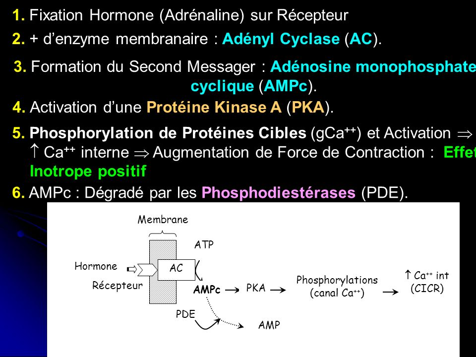 71 AC ATP AMPc Membrane Récepteur PKA Phosphorylations (canal Ca ++ ) Ca ++ int (CICR) Hormone AMP PDE 6. AMPc : Dégradé par les Phosphodiestérases (P