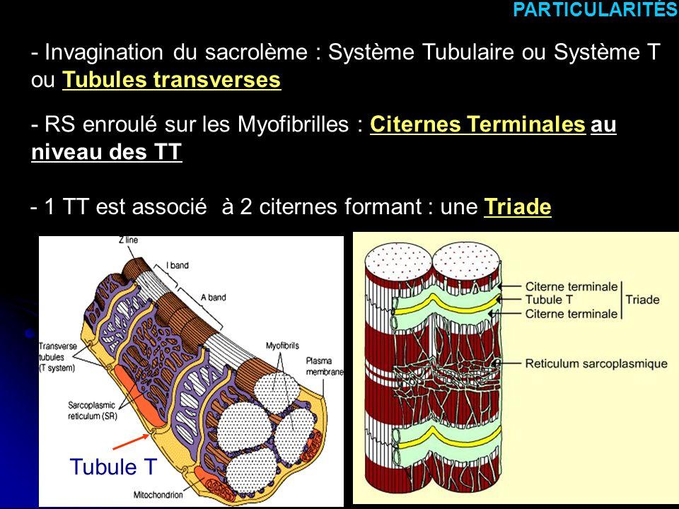 9 PARTICULARITÉS - Invagination du sacrolème : Système Tubulaire ou Système T ou Tubules transverses - RS enroulé sur les Myofibrilles : Citernes Term
