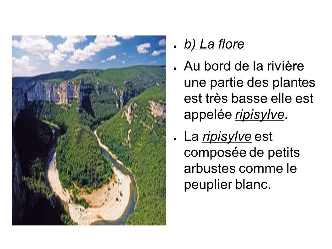 b) La flore Au bord de la rivière une partie des plantes est très basse elle est appelée ripisylve. La ripisylve est composée de petits arbustes comme