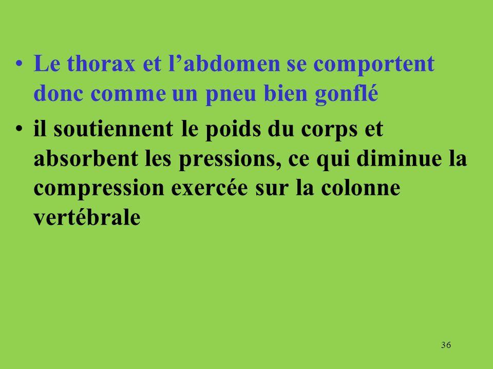Le thorax et labdomen se comportent donc comme un pneu bien gonflé il soutiennent le poids du corps et absorbent les pressions, ce qui diminue la comp