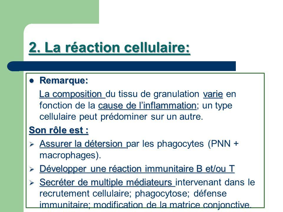 2. La réaction cellulaire: Remarque: Remarque: La composition varie cause de linflammation La composition du tissu de granulation varie en fonction de