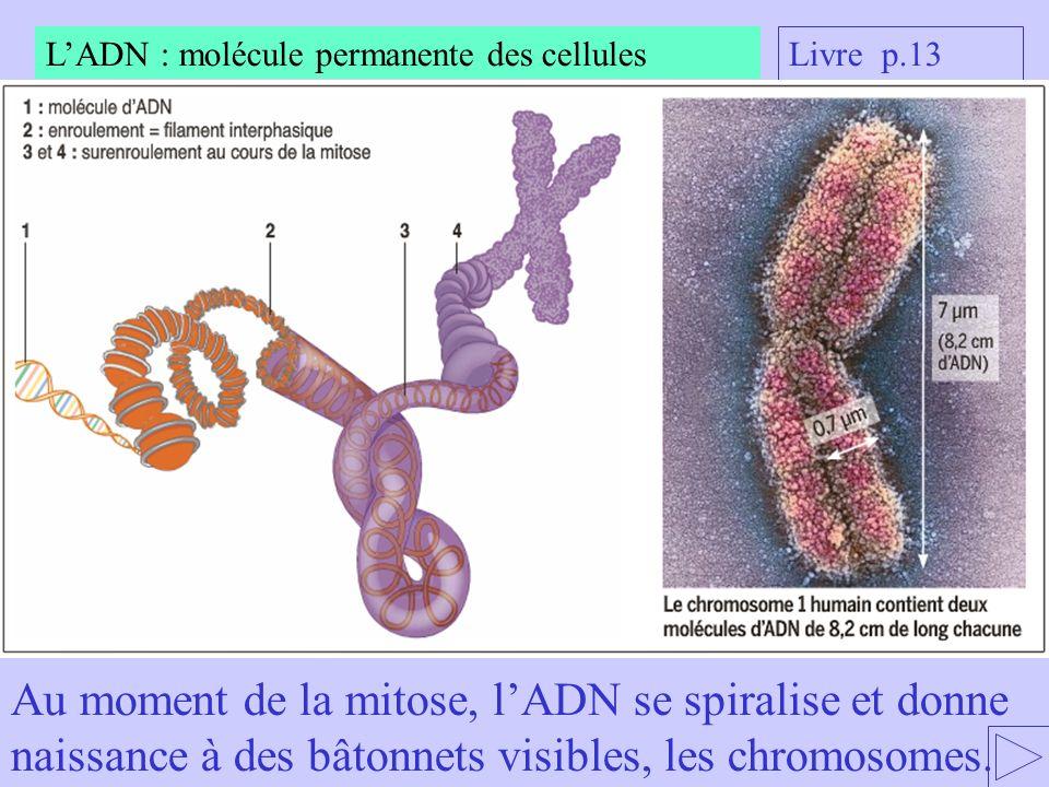 Au moment de la mitose, lADN se spiralise et donne naissance à des bâtonnets visibles, les chromosomes. LADN : molécule permanente des cellules Livre