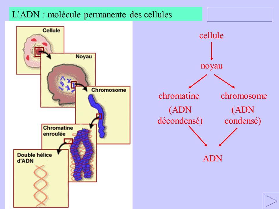 cellule noyau chromatinechromosome (ADN décondensé) (ADN condensé) ADN LADN : molécule permanente des cellules